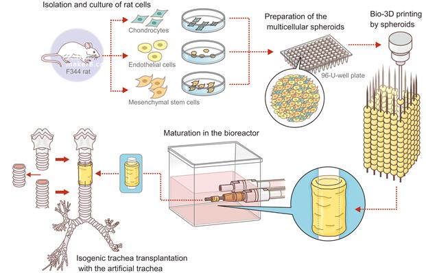 生物打印和植入过程插图