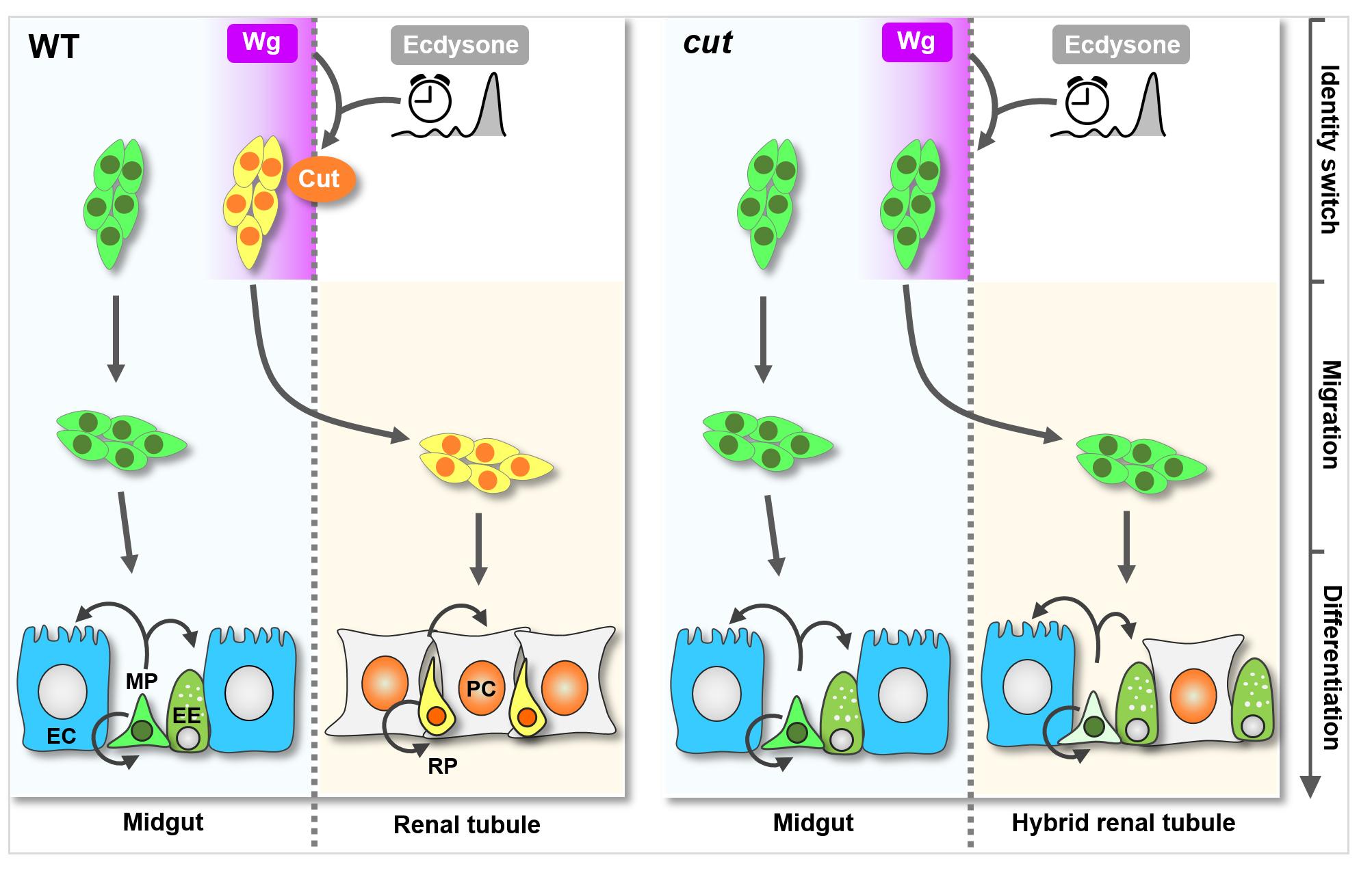 时空特异性诱导同源异型因子Cut表达控制肠道-肾管谱系自然重编程