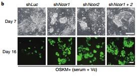 南科大学Nature子刊:诱导多能干细胞重编程新机制