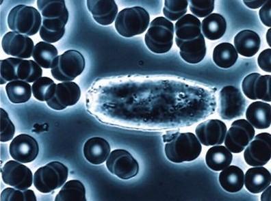 毛囊真皮干细胞研究新进展