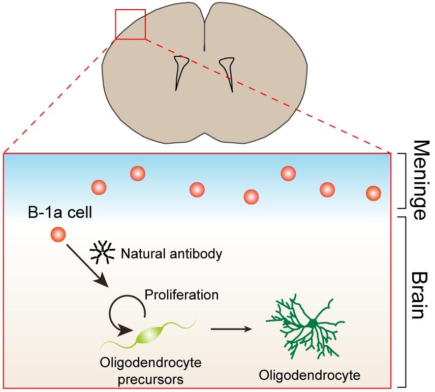 神经元依赖电信号进行交流