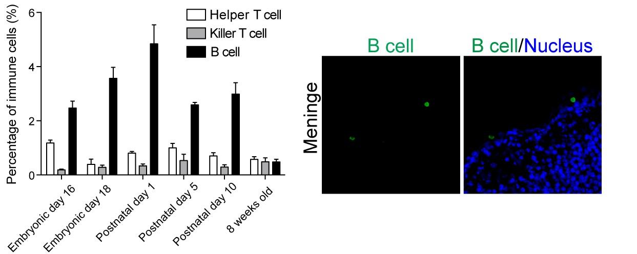 B细胞和T细胞似乎能刺激周围神经元的轴突髓鞘化