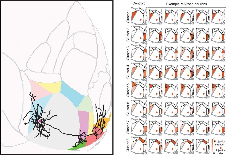 遗传条形码标记神经元高通量DNA测序