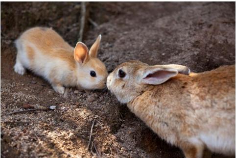 兔子实验免疫反应