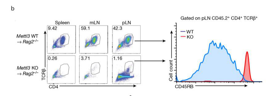 m6A控制T细胞稳态分布的分子机制