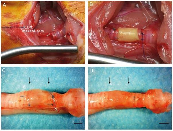 日本科学家成功将3D 打印气管移植到大鼠体内