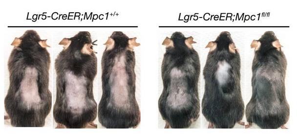 Mpc1 基因敲除小鼠(右)与对照组相比(左),显示更迅速的毛发生长