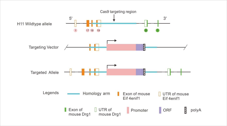 H11位点基因敲入小鼠构建原理图
