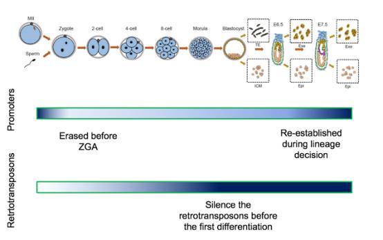 异染色质修饰H3K9me3在植入前及植入后胚胎发育过程中动态变化
