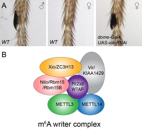 RNA m6A中决定果蝇性别的新因子