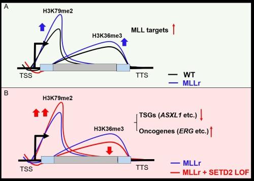 两种不同组蛋白表观修饰的相互作用对白血病的影响
