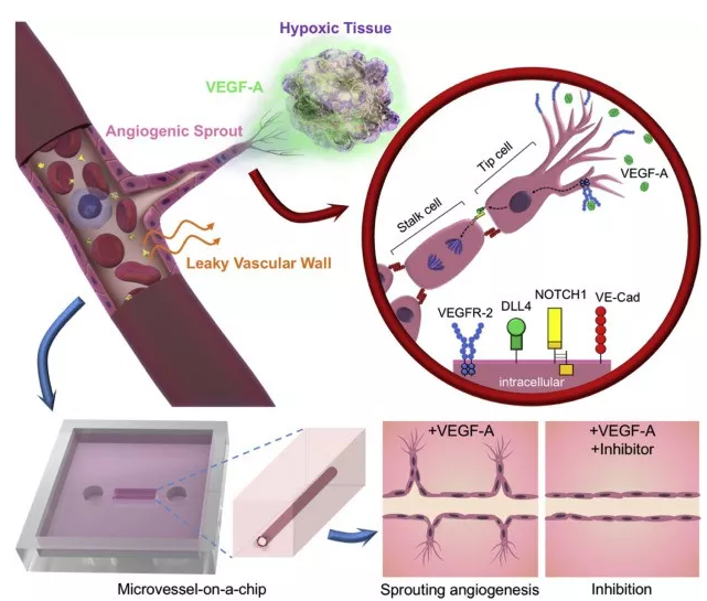 本研究中芯片上 VEGF 诱导的血管新生的概念图