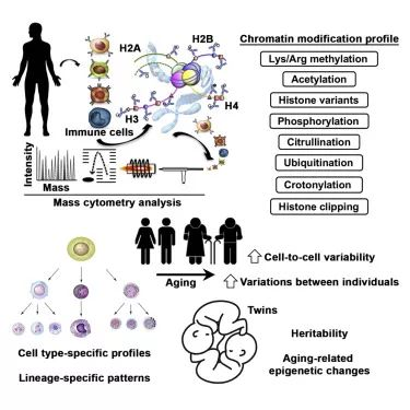 免疫细胞衰老研究