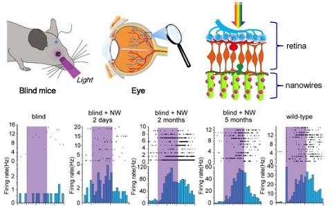 利用具有光响应、可植入视网膜的纳米线阵列恢复盲小鼠视觉