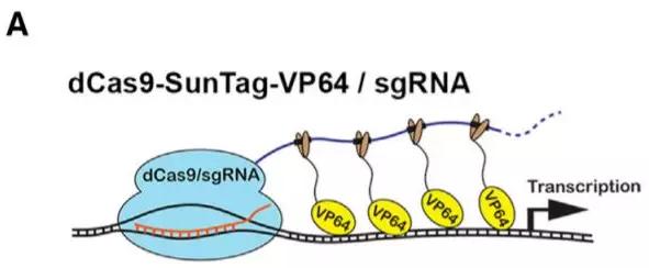 研究中用来激活特定基因的 CRISPR 系统