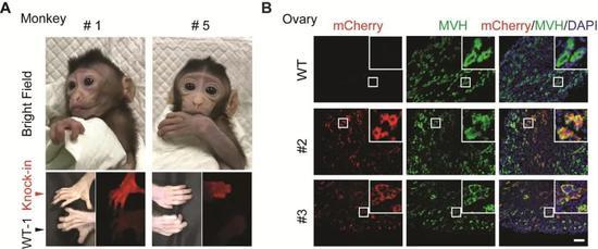 带荧光标记的猴子