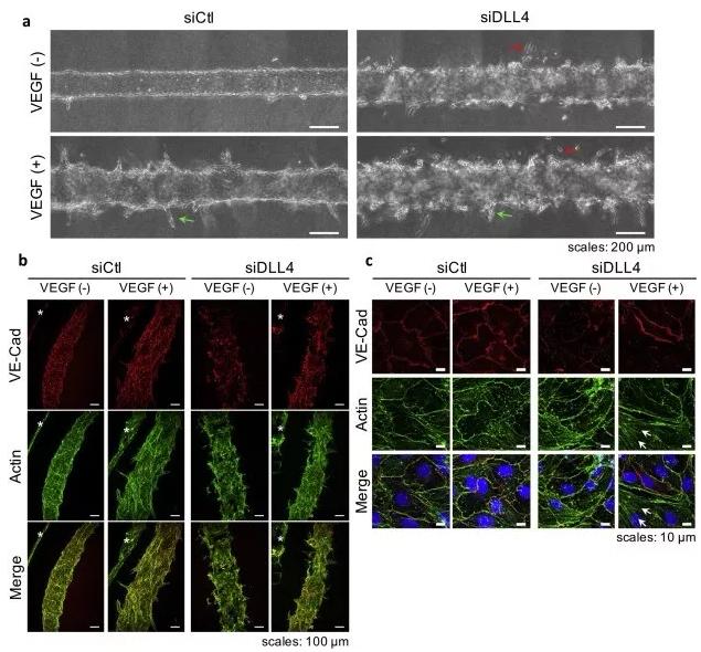 敲除 DLL4 将影响血管的新生和稳定性