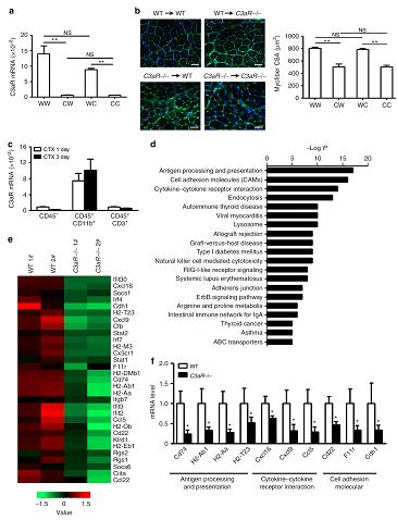 单核巨噬细胞表面C3a受体调控巨噬细胞的激活和招募