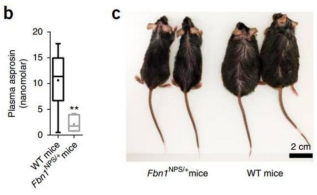 """"""":野生型小鼠(黑)和基因编辑后小鼠(灰)血浆中白素水平的对比"""""""