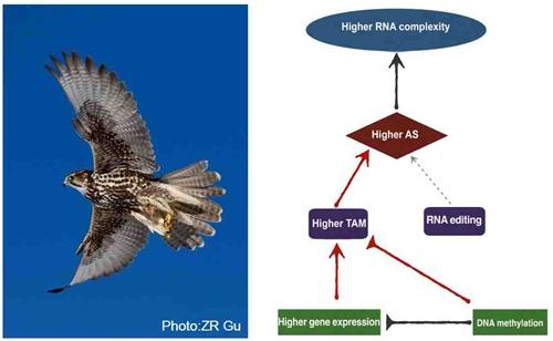 猎隼(左);高表达基因产生高RNA多样性的机制(右)