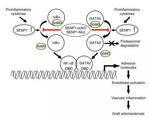 血管内皮中蛋白酶