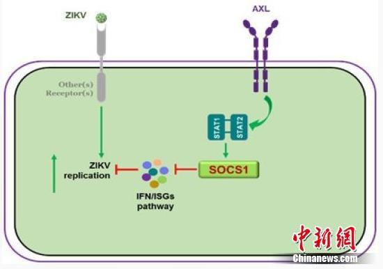 中国科学家首次找到寨卡病毒感染神经细胞的新机制