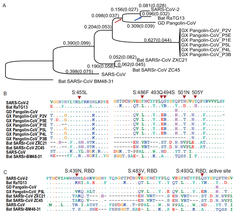 Molecular divergence and selective pressures during the evolution of SARS-CoV-2 and related viruses