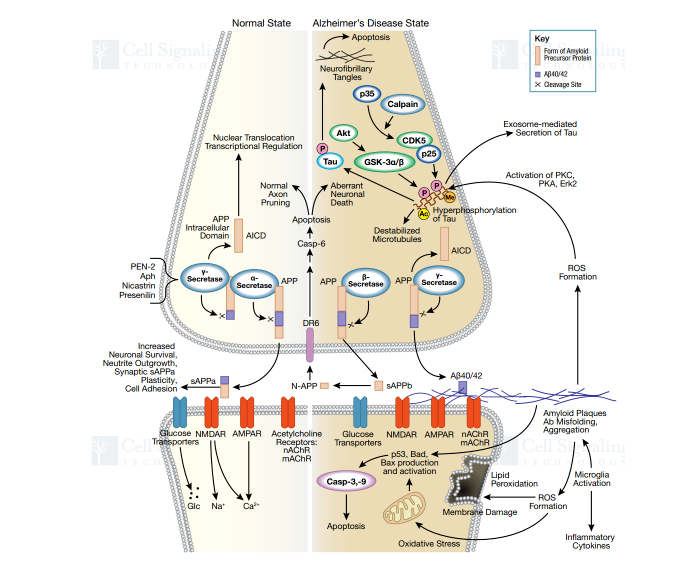 Figure 2. Signaling Pathway of AD