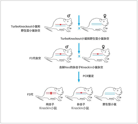 基因敲除小鼠流程