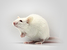 crispr case knockout rats