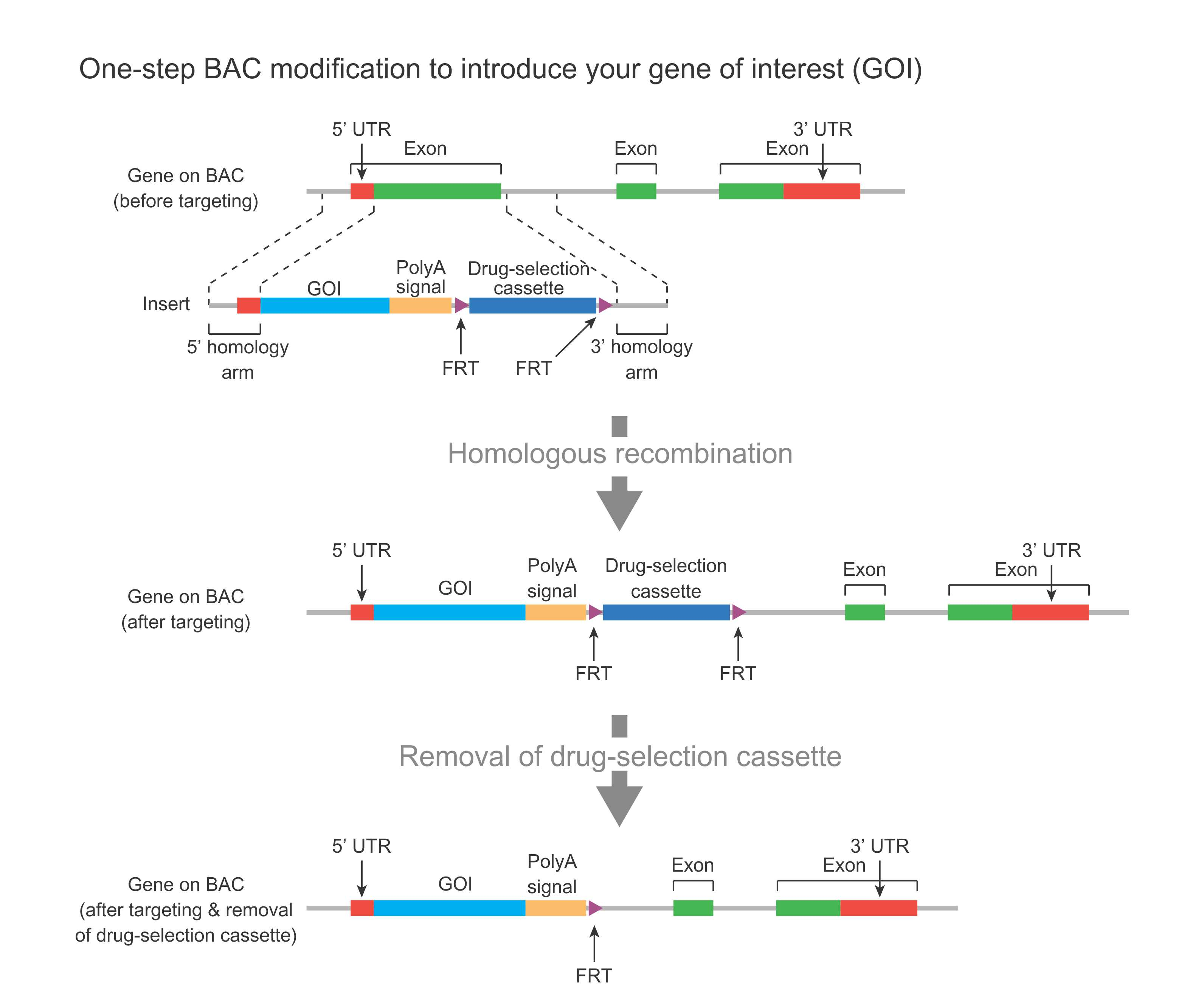 one-step bac modification to introduce your gene of interest