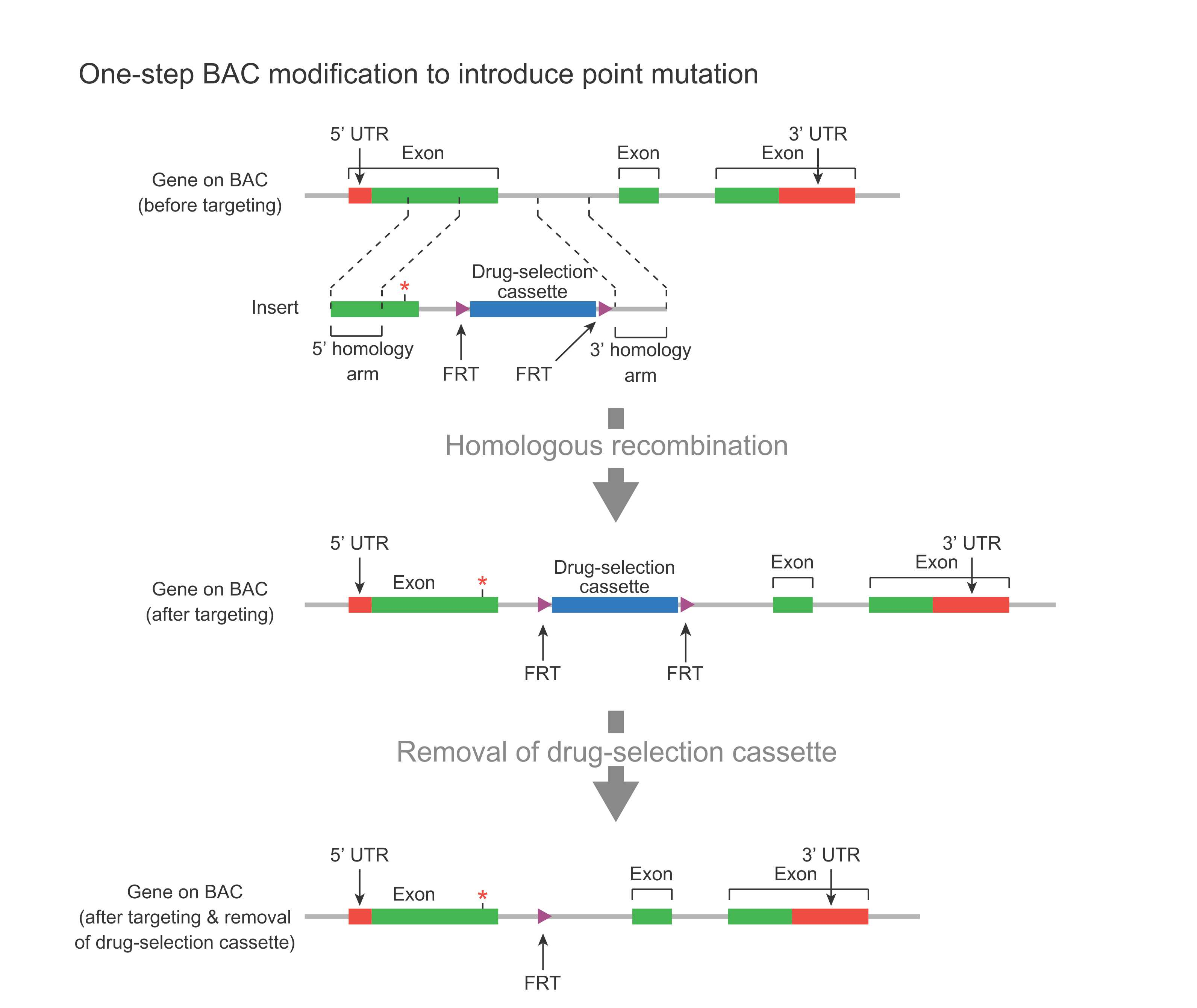 one-step BAC modification to introduce point mutation