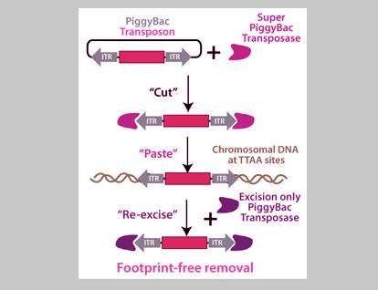 PiggyBac系统打造高效转基因——技术原理