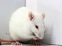 PiggyBac-on-BAC transgenic rats