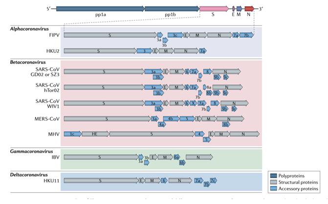 異なるコロナウイルスのゲノム、遺伝子とタンパク質