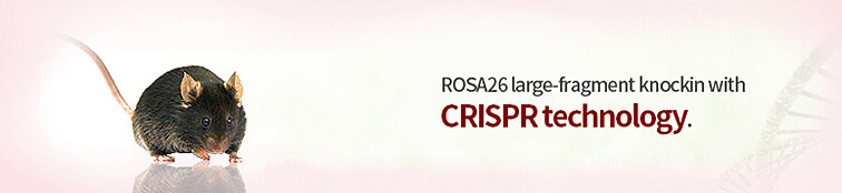 Rosa26 Knockin Mice | Guarantee delivery 3 F1 mice for ROSA26 knockin | Cyagen US Inc.