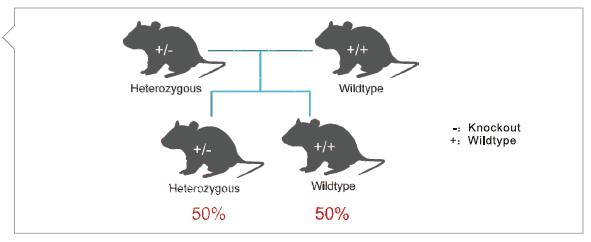 点突变鼠的建系原则与流程1