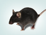 Genome Editing Knockout and Knockin Mice