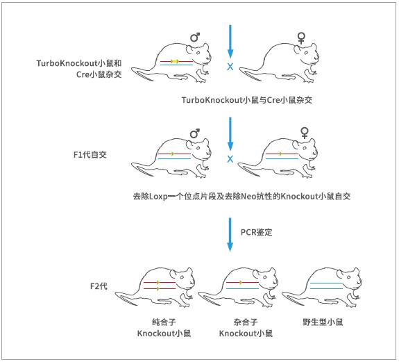 基因敲除小鼠服务