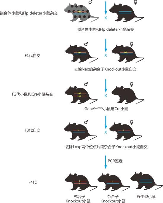 条件性基因敲除小鼠的建系原则与流程