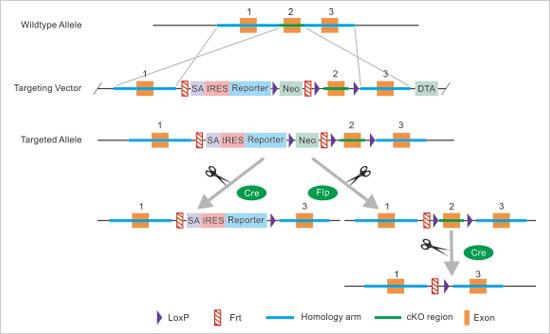 KO-First技术制作基因敲除鼠