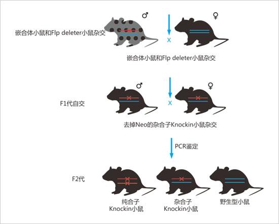 基因敲入小鼠的建系原则与流程