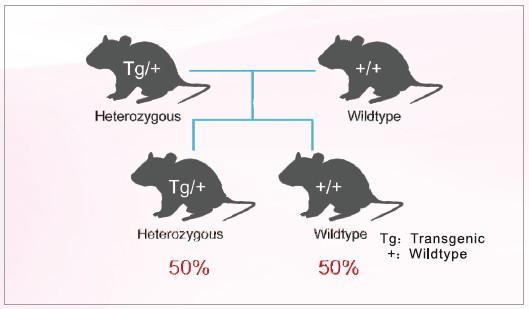 BAC转基因大(小)鼠的建系原则与流程