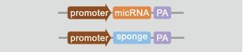microRNA转基因大(小)鼠