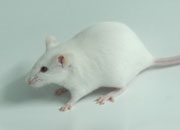 Genome Editing Knockout and Knockin Rats