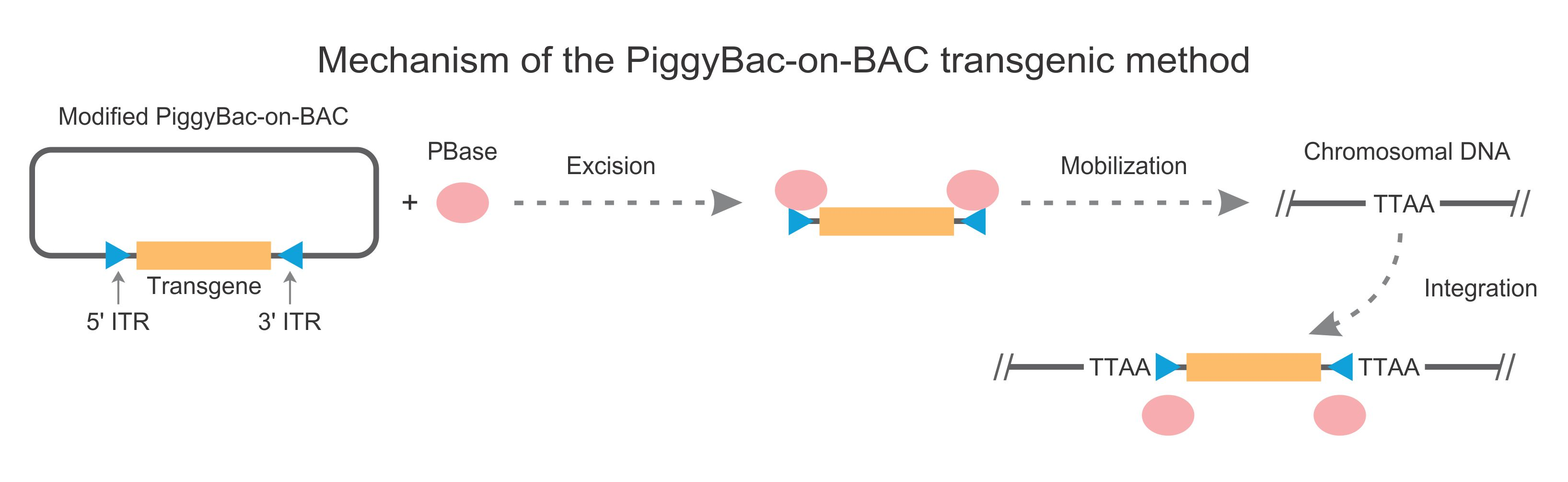 mechanism of the Piggybac-on-BAc transgenic method