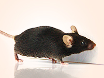 crispr point mutation mice
