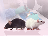 Rats - The Animal Model that is Revitalizing Medical Research