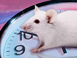 the mammalian half-circadian clock